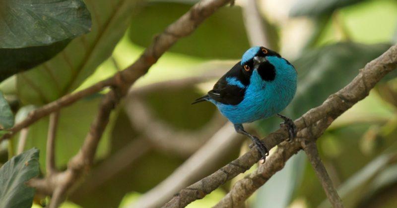 Dacnis Turquesa (Dacnis hartlaubi) Turquoise Dacnis