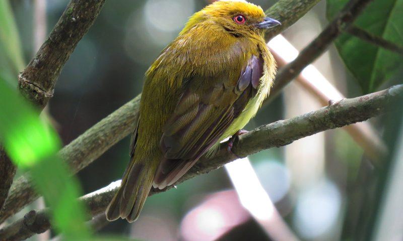 Saltarín Dorado (Chloropipo flavicapilla) Yellow-headed Manakin Fotógrafo Wilmer Quiceno.
